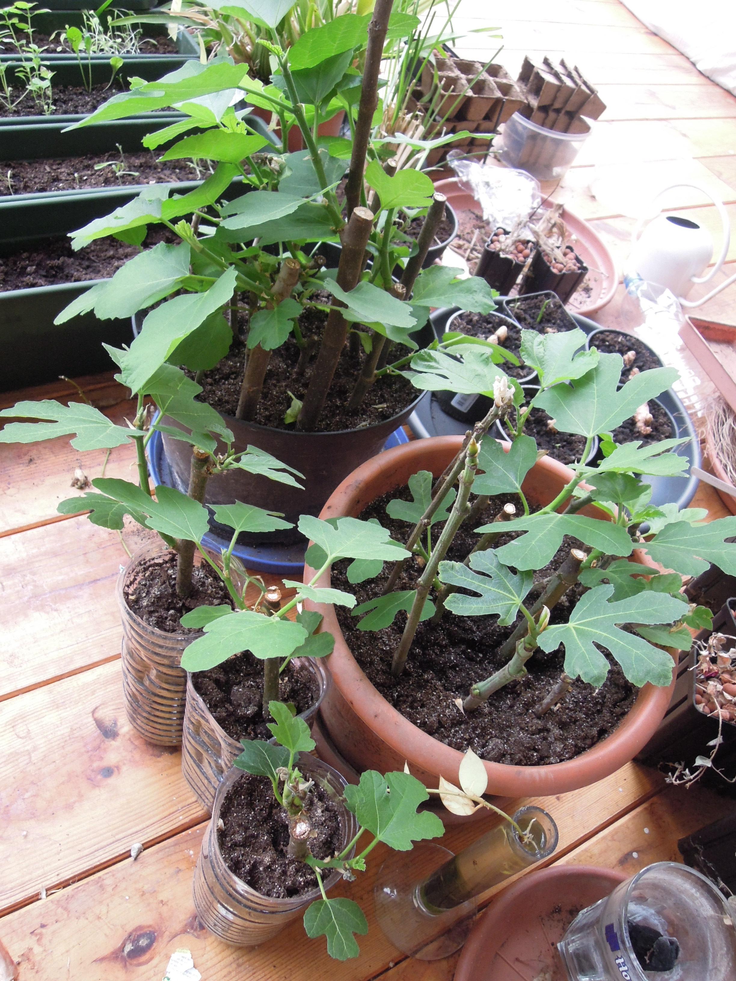 r 233 seau de permaculture d alsace planter des figuiers dans l est de la