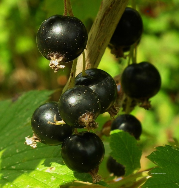 Blackcurrant 219775 1280